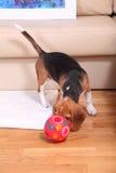 Женский щенок бигля Стоковые Фотографии RF