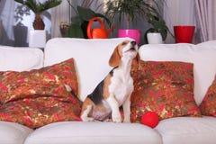 Женский щенок бигля Стоковая Фотография