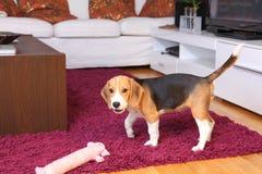 Женский щенок Beagle Стоковое фото RF