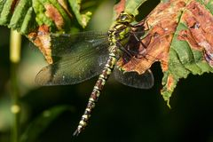 Женский южный Dragonfly лоточницы отдыхая на лист Стоковая Фотография