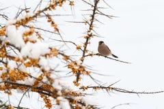 Женский bullfinch на ветвях крушины моря Стоковые Изображения