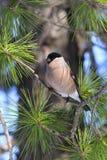 Женский bullfinch сидя на ветвях кедра Стоковое Изображение