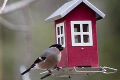 Женский bullfinch Стоковые Фотографии RF