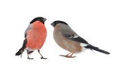 Женский bullfinch Стоковое фото RF