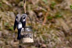 Женский bullfinch Стоковое Изображение