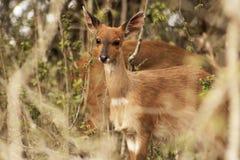 Женский bushbuck Стоковые Изображения