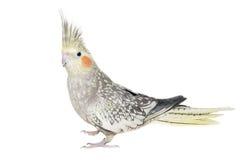 Женский Cockatiel изолированный на белизне Стоковые Фотографии RF