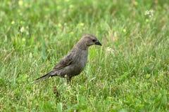 Женский Cowbird на лужайке стоковое изображение rf
