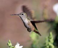 женский hummingbird стоковые фото