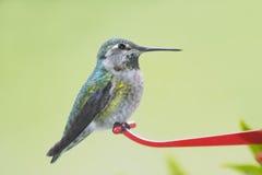 женский hummingbird Стоковое Изображение