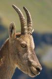 Женский ibex Стоковые Фото