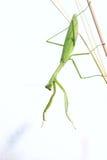 Женский mantis Стоковые Изображения RF