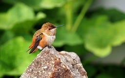 Женский Rufous колибри отдыхая на камне гранита Стоковые Фото