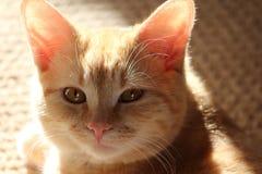 Женский tabby персика кладя в солнце Стоковая Фотография