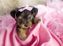 женский terrier yorkshire щенка Стоковая Фотография
