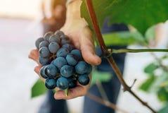 Женский viticulturist жать виноградины в дворе виноградины Стоковое Изображение RF