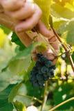 Женский viticulturist жать виноградины в дворе виноградины Стоковое фото RF
