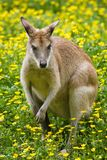 женский wallaby Стоковое Фото