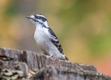 Женский Woodpecker на болоте Tylee, Rosemere, Квебеке стоковое фото