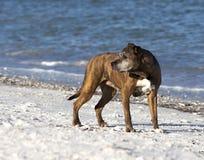 Женским смешанная питбулем собака породы Стоковые Фотографии RF