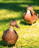 2 женских кряквы на лужайке Стоковое Изображение RF