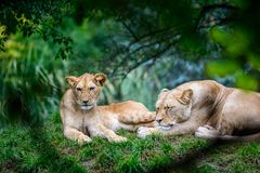 2 женских льва Стоковые Изображения