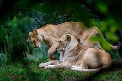 2 женских льва Стоковая Фотография RF