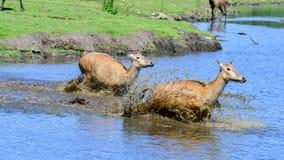 2 женских оленя Père David's бежать через воду Стоковая Фотография
