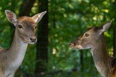 2 женских оленя Стоковое Фото