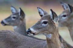 3 женских оленя Стоковое фото RF