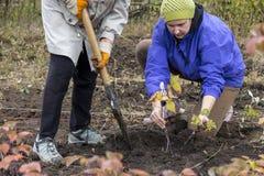 2 женских работника осеменяя молодое дерево в свежую почву Стоковое фото RF