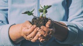 2 женских руки держа Буша клубник на голубой предпосылке Концепция городского сада Стоковые Фото