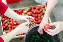 2 женских руки очищая вверх клубники от листьев Стоковая Фотография