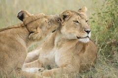 2 женских льва холя (пантер leo) в Танзания Стоковая Фотография