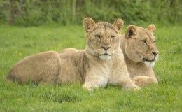 2 женских льва Стоковое Изображение