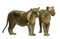 2 женских льва Стоковая Фотография