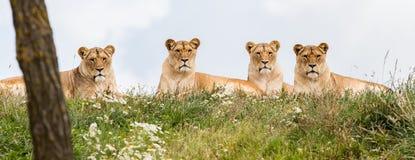 4 женских льва Стоковое Фото