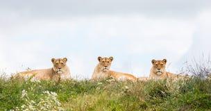 3 женских льва Стоковое Изображение RF