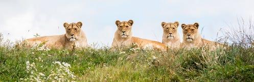 4 женских льва Стоковое Изображение