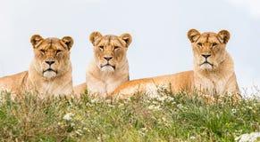 3 женских льва Стоковая Фотография RF
