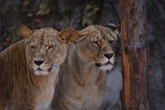 2 женских льва Стоковое Фото