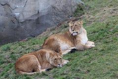 2 женских льва Стоковое Изображение RF