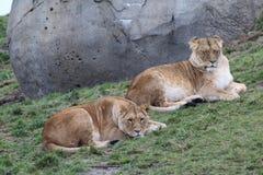 2 женских льва Стоковое фото RF