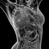 Женское анатомирование иллюстрация штока