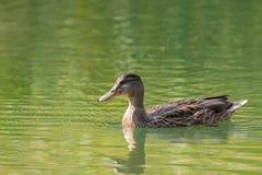 Женское заплывание дикой утки кряквы в кристалле - ясной воде озера  Стоковое Изображение RF