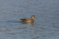 Женское заплывание strepera anas утки gadwall в открытом море стоковые фото