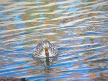 Женское заплывание кряквы в озере, platyrhynchos Anas Стоковые Фотографии RF