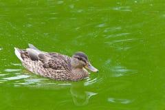 Женское заплывание утки кряквы в мутной воде Стоковое Изображение RF
