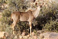 Женское положение Kudu - парк живой природы - Beaufort западное Стоковая Фотография RF