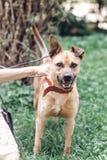 Женское предприниматель кладя на поводок на собаке, милой коричневой собаке усмехаясь вне стоковое изображение rf